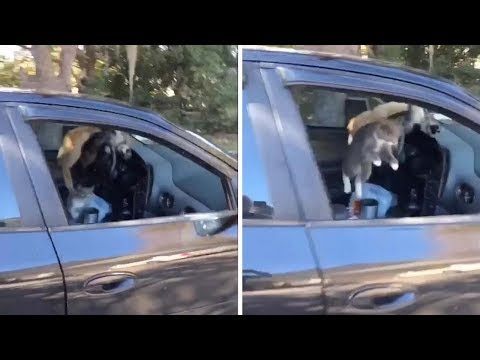 Crazy Cats Run Around Inside Of Car