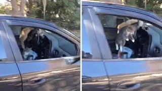Crazy Cats Run Around Inside Of Car