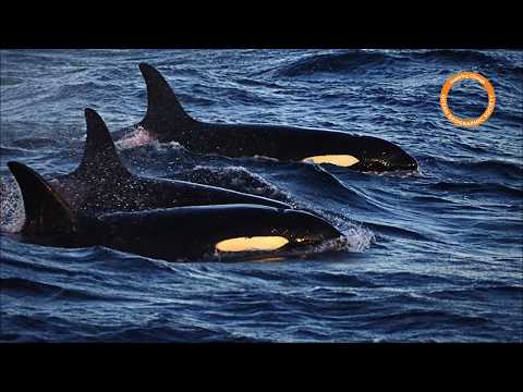 Escale Winter Whales - Ocean Geographic Orcas Humpback Whales and Northern Light Expedition2017
