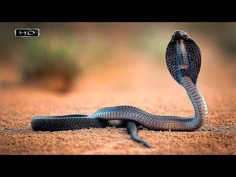 Вопрос: Почему змеи шипят?