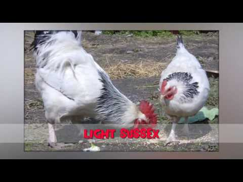 best chicken breeds for eggs, chicken breeds documentary, chicken breeds for meat 1280x720