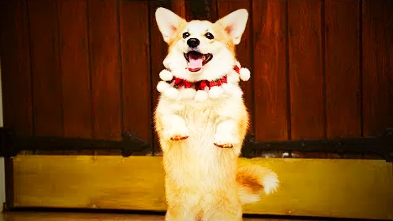 Funny Dancing Dogs