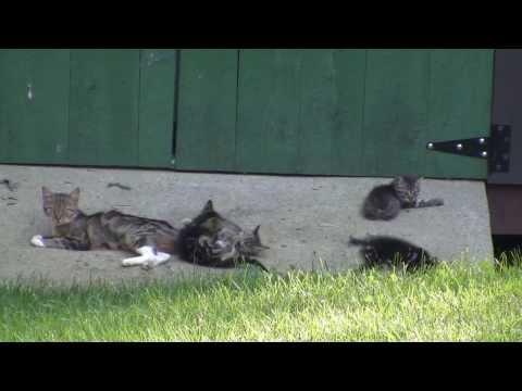 Momma Kittie and Her Manx Kittens