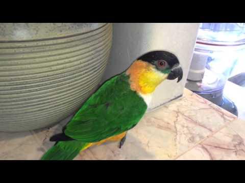 Evil Laughing Caique Parrot Plots Mischief!
