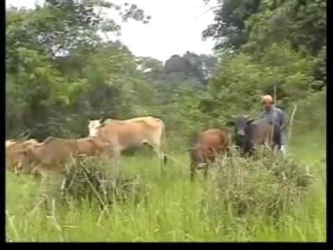 Lembu Tak Tambat - Cikgu Naim