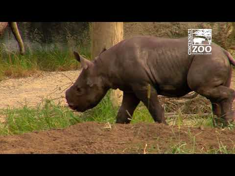 Black Rhino Calf Kendi Getting More Comfortable Outside - Cincinnati Zoo