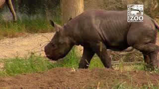 Black Rhino Calf Kendi Getting More Comfortable Outside - Cincinnati Zoo