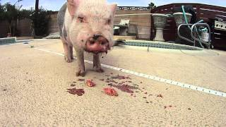 Mini Pig eats Mini Pomegranite