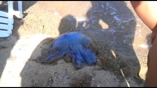 Невероятное видео!Большая медуза!