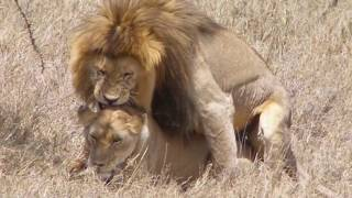 Serengeti mating lions