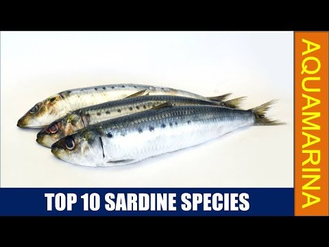 Top 10 Sardine Species | 10 Types Of Sardine Fish Found In World || Aquamarina