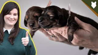 How To Find The PERFECT BREEDER For A DACHSHUND