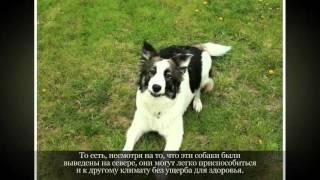 Восточно сибирская лайка Крупные породы собак