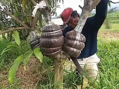 How To Grafting Mango Trees With The Roots Of Trees