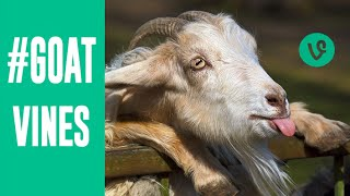 Repeat youtube video Best GOATS VINES Compilation | March 2015 | Funny Animal Vines