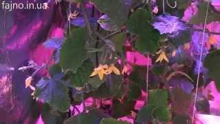 LED светильник для растений: выращивание огурцов(Светодиодные светильники для растений: http://fajno.in.ua/g4579690-svetodiodnoe-osveschenie-dlya Эксперимент по выращиванию огурцов..., 2015-01-13T11:58:39.000Z)