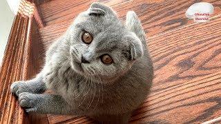 ПРОШЛО 2 месяца:)  MAISY. Scottish Fold kitten :)