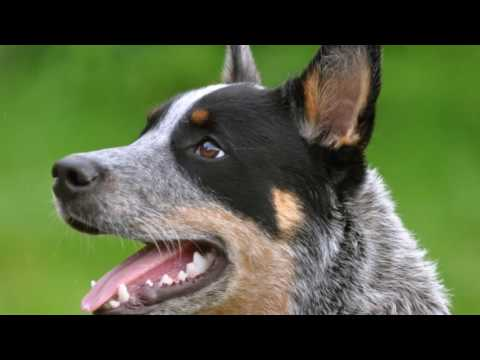 how-to-train-a-blue-heeler-easely-by-yourself