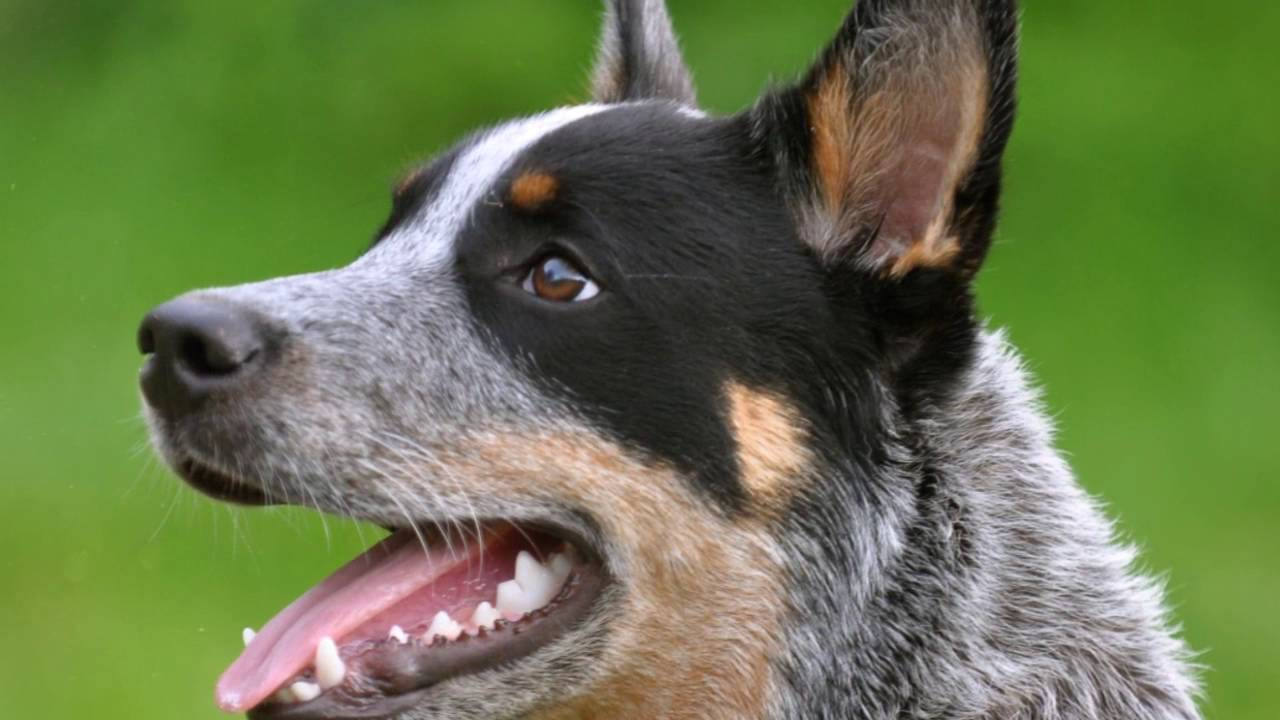 How to train a blue heeler easely by yourself