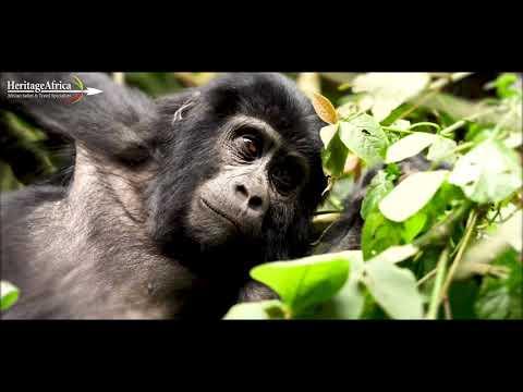 Best Luxury Gorilla Trekking Safari in Rwanda or Uganda