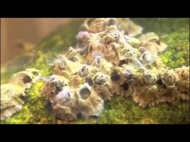 Barnacles documentary