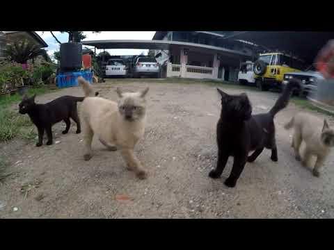 Persian Cat mixed Siamese