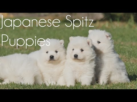 Japanese Spitz playing gently