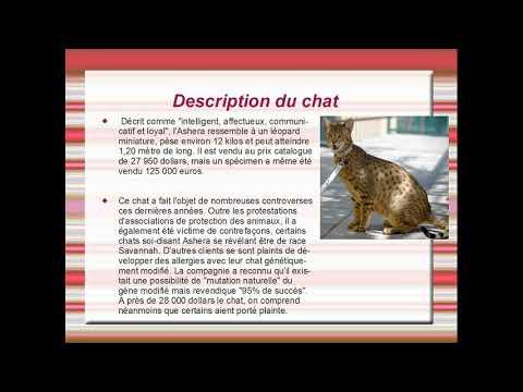 Présentation De L'ashera; Un Chat Hypoallergénique.