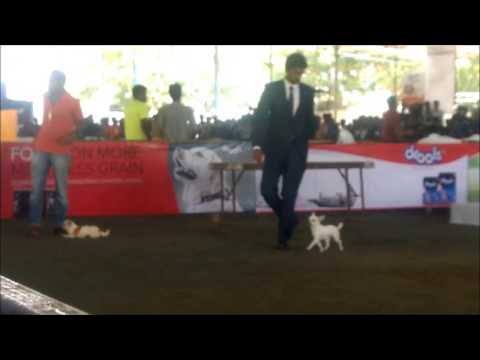 Cute Chihuahua Dogs at Cochin Dog Show 2016