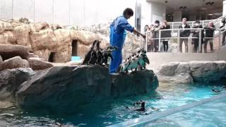 長崎ペンギン水族館のペンギンショーです ものすごい数のペンギンたちが...