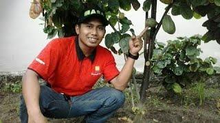 081233750366(Simp) Budidaya Kakao Organik,Cara Merawat Tanaman Coklat Agar Berbuah Lebat.