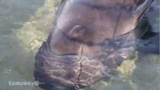 【人間観察をするコビレゴンドウのシズカ@八景島シーパラダイス】 thumbnail