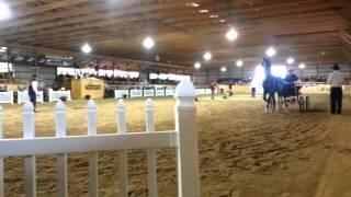 Dutch harness horse sale