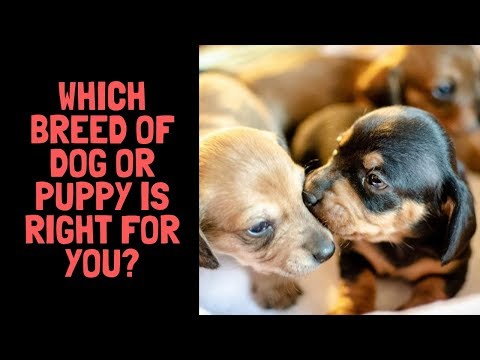 Which Breed of Dog or Puppy Is Right For You?