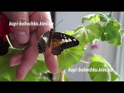 Бабочка Сильвия и ее куколка