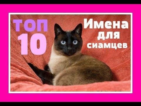 Как назвать сиамского кота мальчика