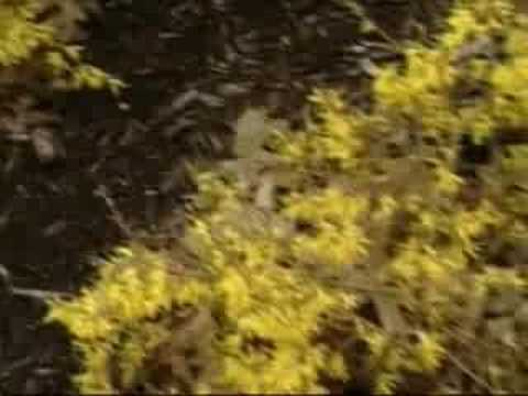 forsythia bush hedge hands on gardening forsythia plant youtube