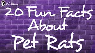 Video 20 Fun Facts About Pet Rats download MP3, 3GP, MP4, WEBM, AVI, FLV Agustus 2017