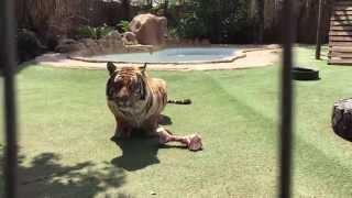 Tiger roar !
