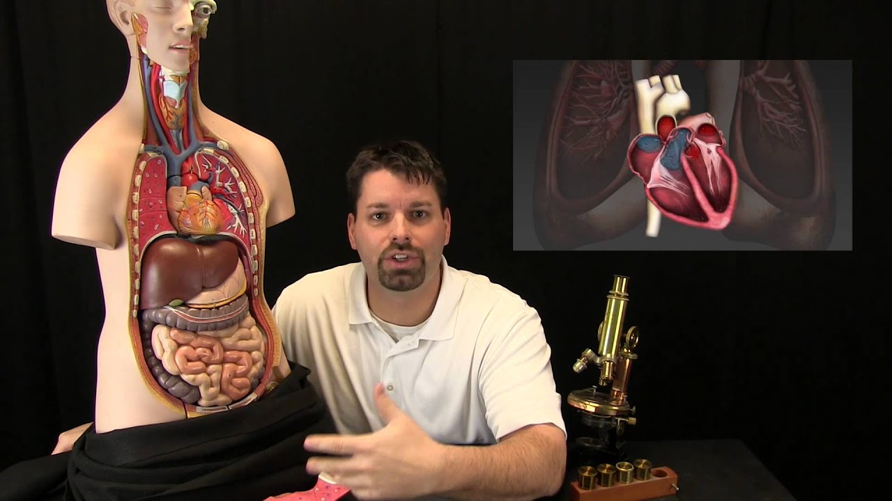 Cells Tissue and Organs - YouTube