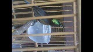 Kolibri ninja betina birahi suaranya membuat kolibri jantan anda gacor