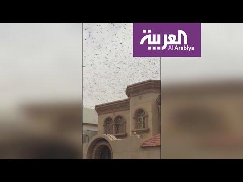 نشرة الرابعة | أسراب الجراد تجتاح الدمام.. ومسؤول في وزارة البيئة يصف الحالة بالطبيعية  - نشر قبل 21 ساعة