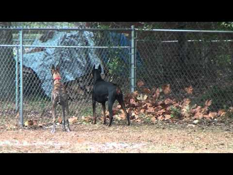 Greyhound, doberman, lab.