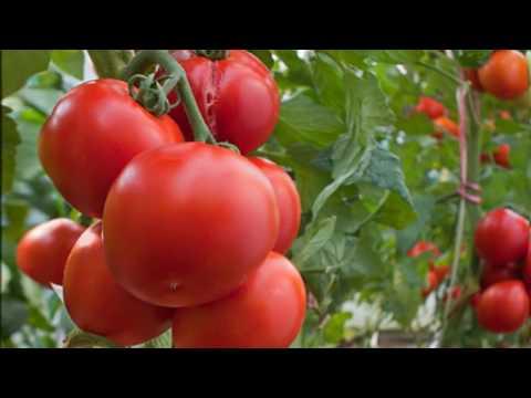 Как часто нужно поливать помидоры и нужно ли поливать