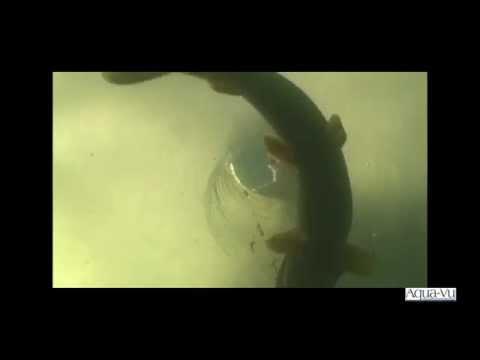 Aqua Vu Подборка удачных кадорв  http://fishcamera.ru/