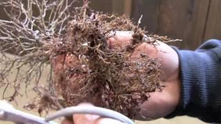 盆栽用語:植え替え(うえかえ)【HD】 thumbnail