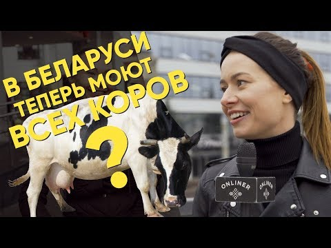 Белорусских коров вымоют на субботнике: правда или фейк?
