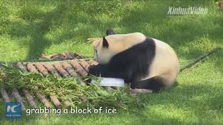 How do pandas cool off on hot summer days?