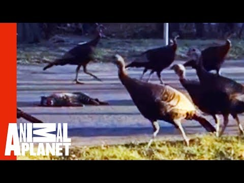 Why Is This Strange Flock Of Turkeys Marching Around A Dead Cat?!   Weird, True & Freaky