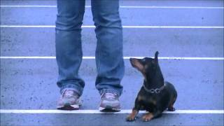Have Fun And Train Obiensi Whit Miniature Pinscher